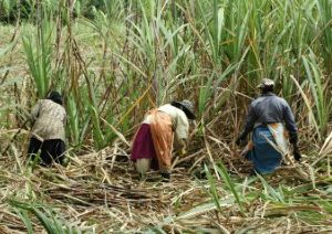 Women in sugarcane fields_26122012_Mauritius_GA_jpg