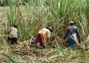 Women in sugarcane fields_26122012_Mauritius_GA_jpg